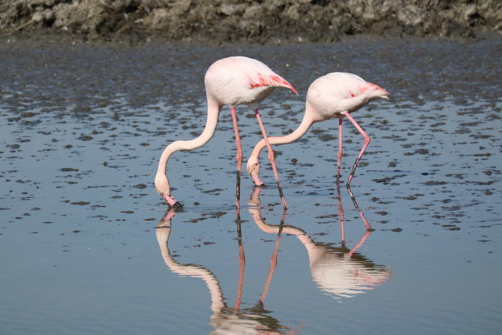 Flamingos at the Camargue Gabrielle George